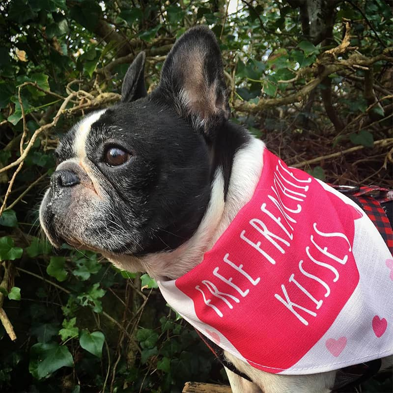 A French Bulldog with her Free Kisses Bandana
