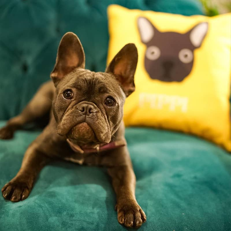 A French Bulldog with their Personalised Icon Cushion