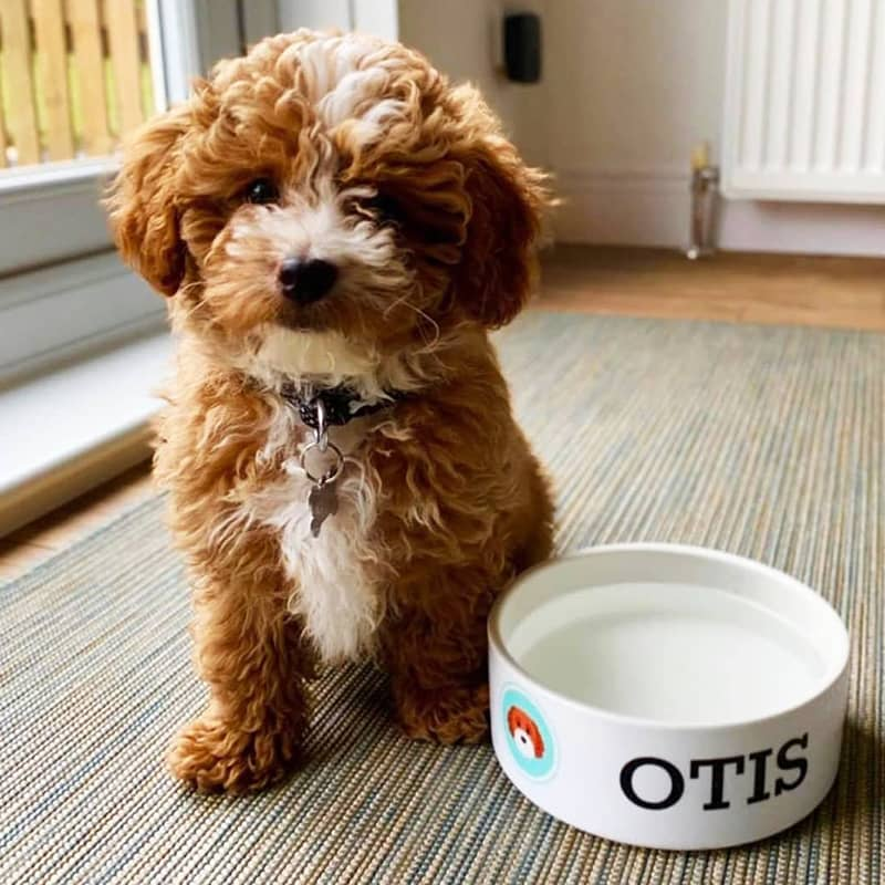 Otis with his Personalized Dog Bowl
