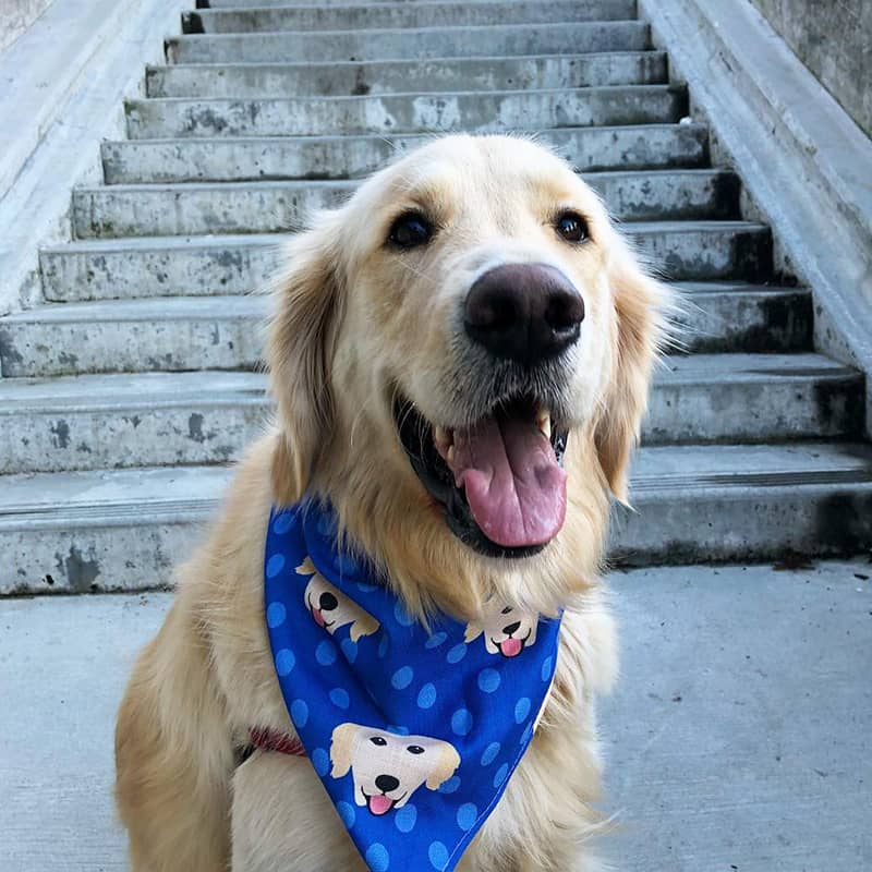 A Retriever wearing a Personalized Icon Bandana