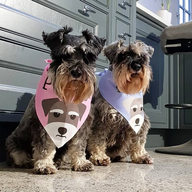Schnauzers wearing their Personalized Icon Bandana's