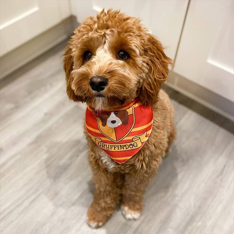Willow wearing her Gryffindog Bandana